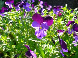 Purple1 copy