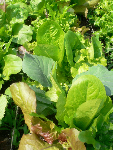 Lettuces2
